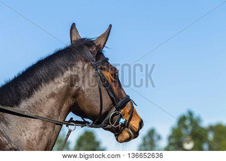 Equestrian horse head closeup portrait show jumping.