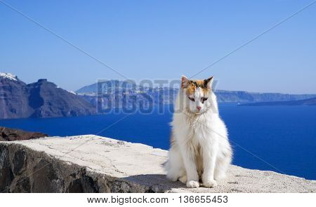 White cat blue water and volcano Santorini mountains