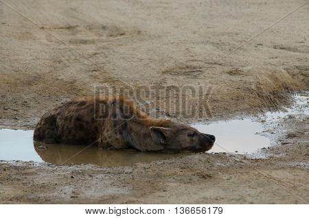 A hyena resting in a water hole after a long night