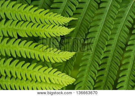 Fern leaf in the forest - green nature background - close-up