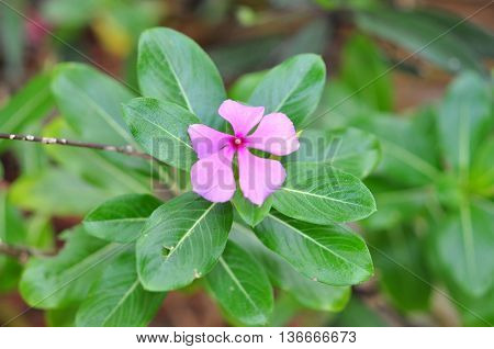 Periwinkle flower in the spring in park