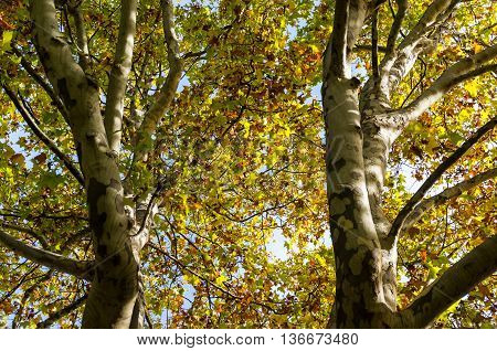 Autumn trees trunks and leaves against sky on the background. Yellow foliage of fall season background. Looking up the tree canopy