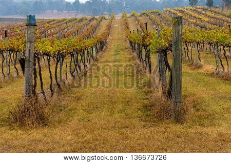 Autumn vineyard rows with yellow leaves and eucalyptus forest on the background. Australian outback rural farm