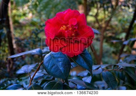 Bright red camellia flower in full bloom against exotic green foliage background. Camellia flower surrounded with tropical lush leaves. Close up selective focus space for text