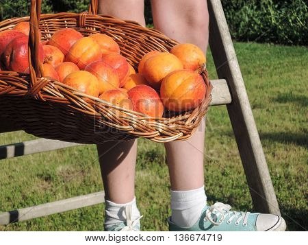 Ripe apricots in a wicker basket and the legs of a teenager coming down from wooden ladder.