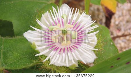 Passiflora foetida blossom spring:select focus with shallow depth of field.