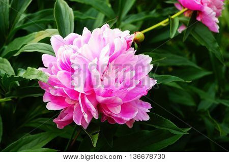 flower, flowering, fragility, herbal, paeon, delic, aromatic