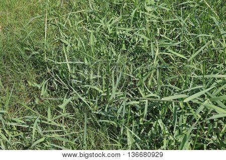 lush untrimmed green grass, behind a school near Ranot, Thailand