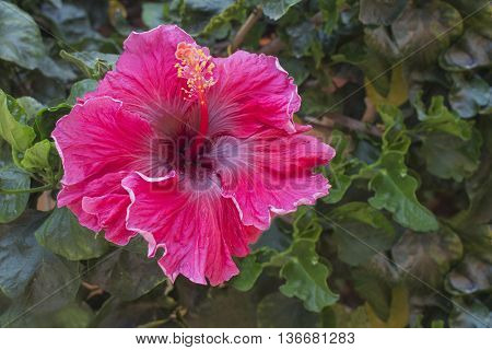 Scarlet hibiscus flower in the garden. Detail of the stamen and pistil. Splash of color. South Africa.