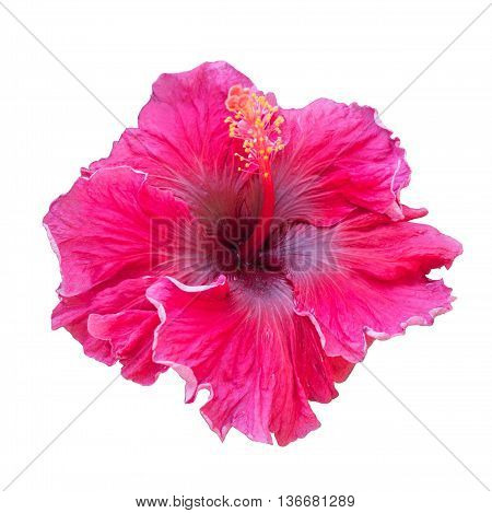 Scarlet hibiscus flower isolated on white background. Detail of the stamen and pistil. Splash of color. South Africa.