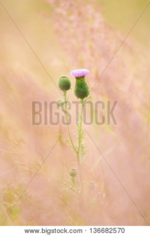 Plumeless thistle - Carduus on pink background. Artistic intent - soft focus. For greeting cards