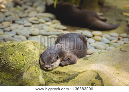Grey otter is lying on the stones