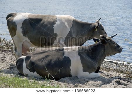 Two cows close to the sea - Little Belt on Funen Denmark