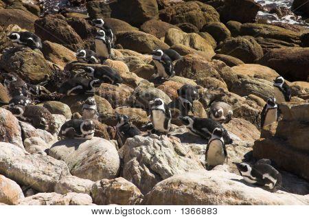 Jackass Penguins (Demersus Spheniscus)