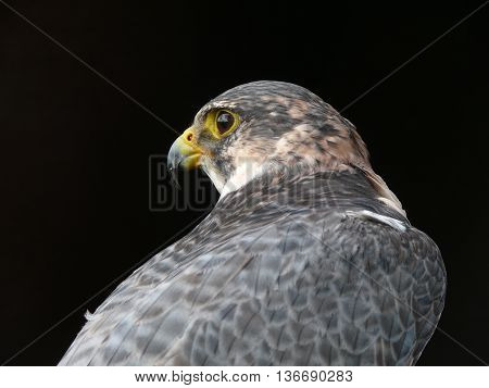 The beautiful falcon is looking for a new prey