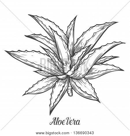 Aloe Vera Plant Vector Hand Drawn Illustration On White Background. Ingredient For Traditional Medic