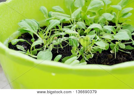 Close up of green Vegetable in plastic plot