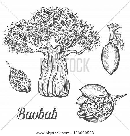 Baobab Tree, Fruit, Leaf, Nut Engraving Vintage Set. Hand Drawn Sketch Vector Illustration. Black Ba