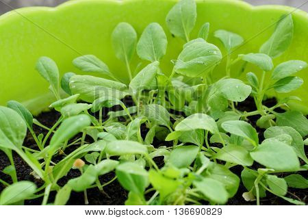 Close up of small green Vegetable in plastic plot