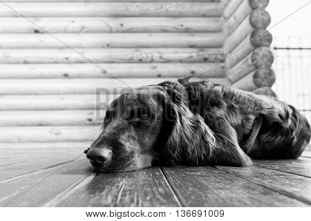 Dog breed Wachtelhund asleep lying on the wooden floor against blurred background of log wall. Black and white. Shallow focus.