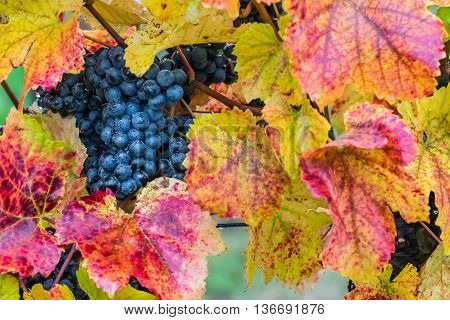 Ripe Blue Grapes On A Branch
