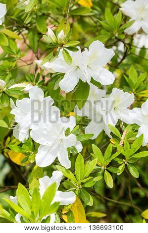 Some White Azaleas in a formal Garden