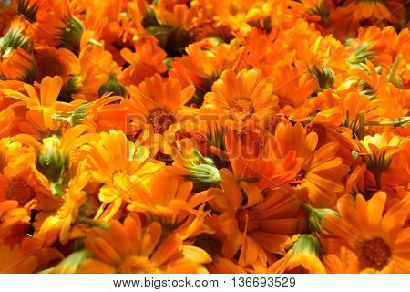 picked calendula flowers for herbal drying process