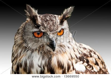 Eagle Owl Against Dark Sky