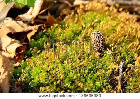moral mushroom single spring moss woods leaves fungus