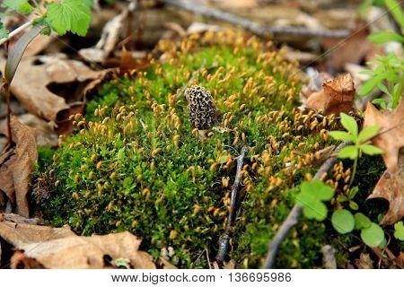 moral mushroom fungus springtime woods leaves moss