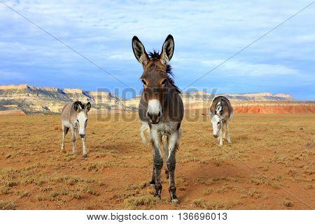 burros wild equine horses desert animals donkey