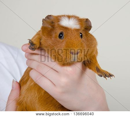 Funny-looking guinea pig in human hands (on a light gray background)