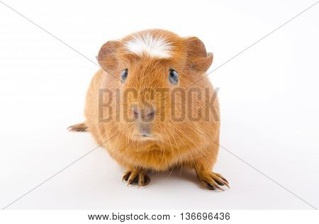 Funny-looking American crested guinea pig (isolated on white) selective focus on the guinea pig eyes