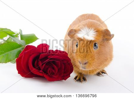 Funny guinea pig and a red rose (on a white background)