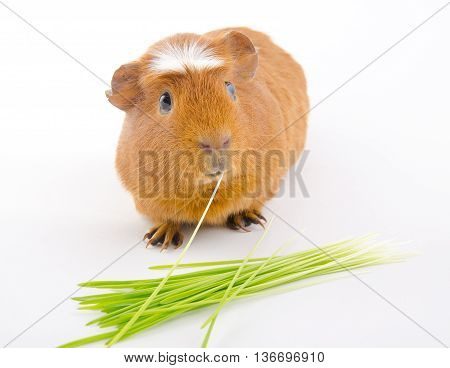 Funny American crested guinea pig eating a blade of grass and green grass (on a white background)
