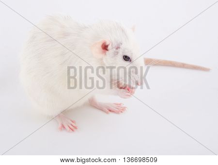 Cute white rat sitting on its hind paws (selective focus on the rat nose and paws)