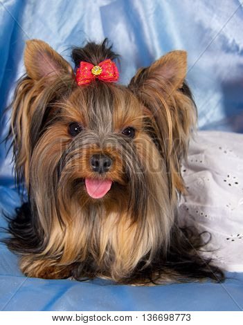 Cute Yorkshire terrier wearing a white dress (against a blue background)