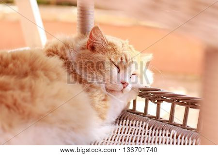 Red cat with longs hairs sleeping in a basket