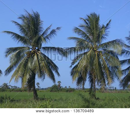 two coconut trees in a rice field with blue sky, near Ranot, Thailand