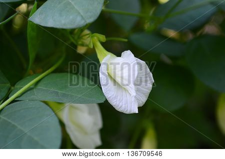 White Asian pigeonwings flower, Clitoria ternatea, Family Fabaceae, Central of Thailand