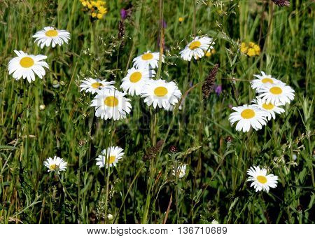 Leucanthemum vulgare, the ox-eye daisy, or oxeye daisy, is a flowering plant native to Europe and parts of Asia.  It has been also introduced to North America, Australia, and New Zealand.