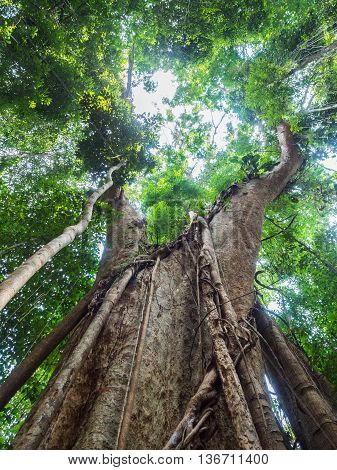 Old giant rain tree in Koh Kood Trat Thailand