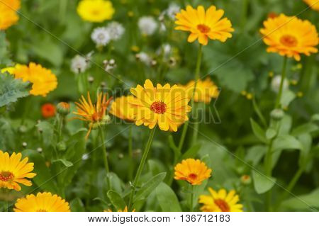 blooming flowers calendula in the summer afternoon