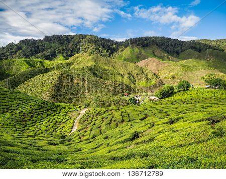 Tea plantation in the Cameron highlands Malaysia