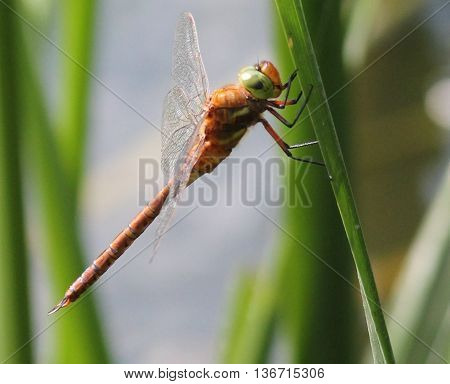 beautiful vivid dragonfly with big green eyes sit on stick of reel with crystal wings