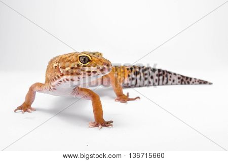 Leopard gecko close up macro with white background