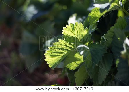 Sun-drenched green leaves and twigs of strawberries on the bush.