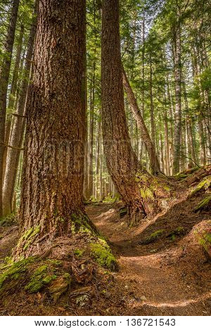 Towering trees on the High Divide/Seven Lakes Trail in Olympic National Park, near Port Angeles, Washington.