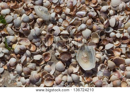 Sea Shells Seashells - variety of sea shells from beach - panoramic - with large scallop shell.