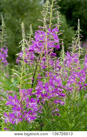in the photo beautiful plant Ivan-tea (Epilobium angustifolium)